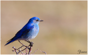 Blue_Bird_by_Nzeman